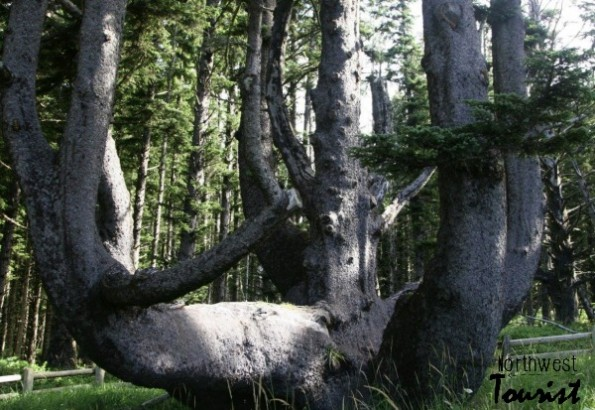 octopus tree oregon